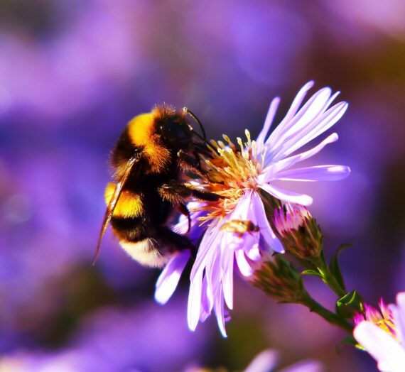 Bumblebees Declined by 66% since Last Decade